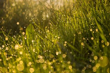 Free morning dew Images, Pictures, and Royalty-Free Stock Photos -  FreeImages.com