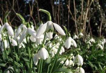 Snowdrops,snowdrops,flower,petal
