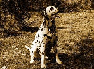 Dog,dog,dalmatian,animal
