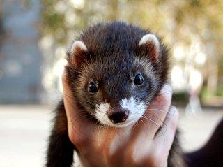 Black sable ferret portrait