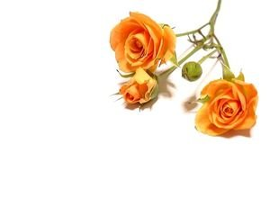 flower,orange,rose,white