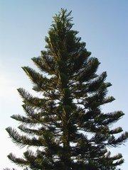 Pine,Brasil,Brazil,Santa
