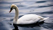 Swan Solo