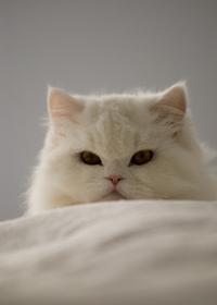 Persian cats 1