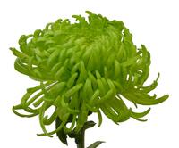 shamrock bloom