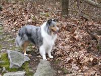 Blue Merle Shetland Sheepdog