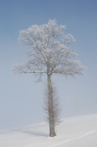 Tree in Fog 2