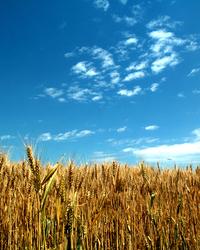 cornfield:sky