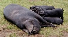 Large Black piglets 1