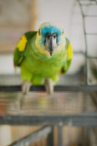 Amazonas Parrot 2