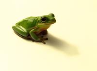 Pet Tree Frog 1