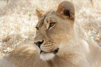 Lioness look