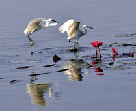 Playfull Egrets