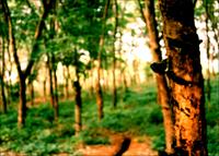 Kerala rubber estate