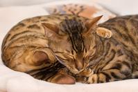 Sleeping Bengal Cats
