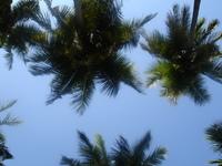 cocounut tree leaves