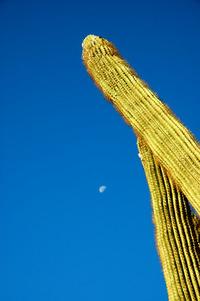 Saguaro cactus 3