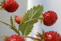 wild strawberry 2