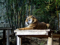 Tiger from Taronga Zoo