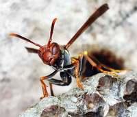 Wasp, hive, wasp eggs 3