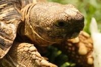 Tortoise - closeup