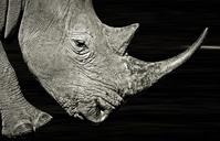 White Rhino in the Dark