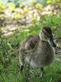 ( Duckling )