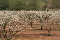 Almond Blossom 4