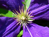 Purple Beauty 1