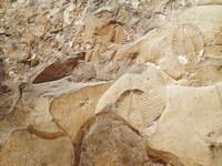 Fossil; Trilobites 2