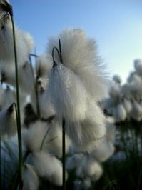 cottonlike