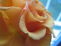 orane flower