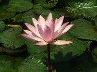 Lotus Garden #1