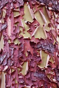 Arbutus Bark Peeling