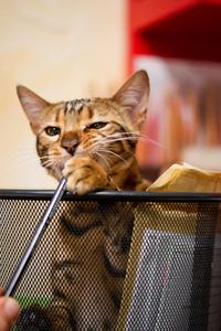 Bengal Cat plying in Recycle Bin