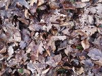 Old dry leaves