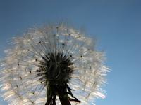 Blowball, dandelion