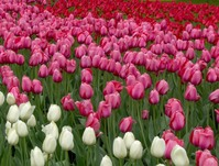 Ottawa Tulip Festival 22