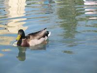 WaterDucks 1