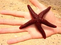 Marine Star - Estrela do mar