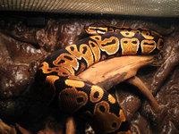 Snakedaddy