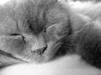the sleeping feline