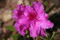 Azalea,Magenta,Plant,Flower,Blossom