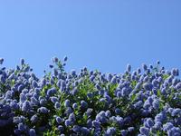 Blue Bush 1