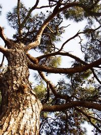 Great pine tree