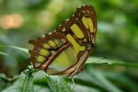 Malachite butterfly 1