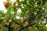 Lemon tree 5