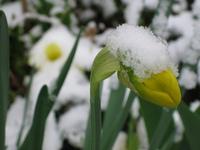 Snow on daffodil bud