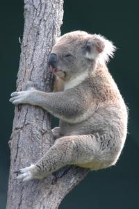 Regal koala
