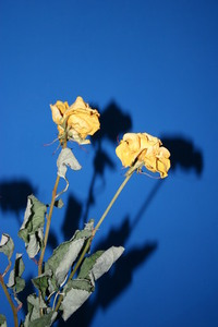 rose0 2
